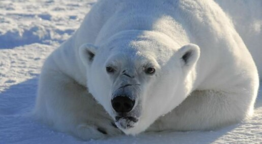 Chemical pollution is causing brain damage in polar bears