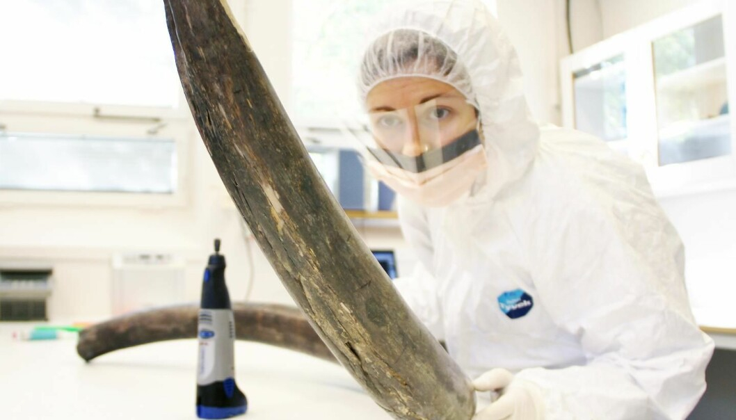 Dr Eleftheria Palkopoulou sampling a mammoth tusk in the ancient DNA lab at the Swedish Museum of Natural History. (Photo: Love Dalén).