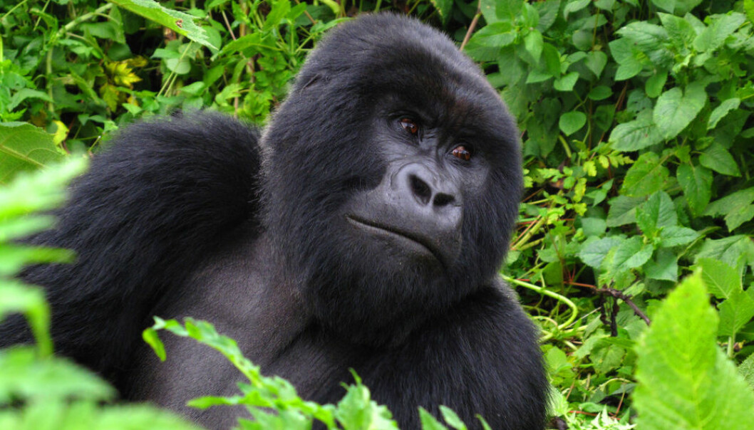 """The mountain gorilla has lived an isolated life in small groups for many years. This has led to intensive inbreeding but has, according to the scientists, not had any immediate negative consequences. (Photo: <a href=""""http://www.shutterstock.com/pic-103476995.html&src=download_history"""" target=""""_blank"""">Shutterstock</a>)"""