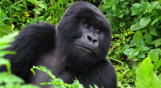 Inbreeding among mountain gorillas has no consequences