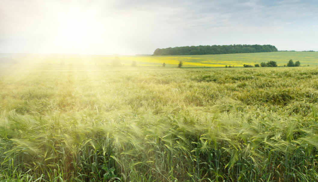"New genetic technologies are well suited to the environmental values, and they can help to reduce the difference in yield between organic and conventional farming, says a group of scientists. (Photo: <a href=""http://www.shutterstock.com/da/pic-186546113/stock-photo-the-field-of-green-ears-of-barley-at-spring-time.html""target=""_blank"">Shutterstock</a>)"