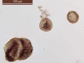 Fossilised pollen and spores that scientists use to investigate prehistoric climate. From left to right: seed fern pollen, fern spores, and conifer pollen. (Photo: Sofie Lindström)