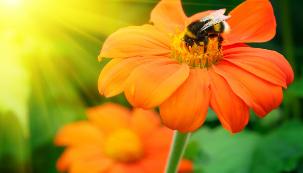 "Only the most common species of wild bees pollinate most crops, according to new research. Scientists argue that there are ecological and ethical reasons for targeting conservation methods to the other rare species of wild bees. (Photo: <a href=""http://www.shutterstock.com/da/pic-116899945/stock-photo-bumble-bee-pollinating-a-flower-lit-by-the-sun.html"" target=""_blank"">Shutterstock</a>)."