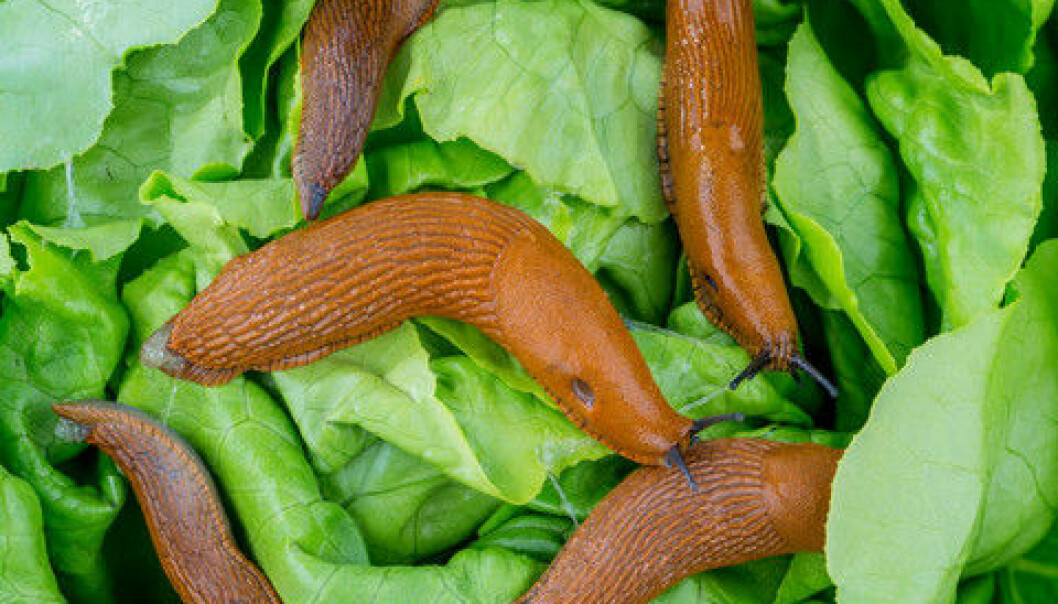 A delicate lettuce leaf soon becomes a slimy pulp when a group of Spanish slugs go on the rampage. Research unfortunately shows that there are no miracle agents against these beasts. Only hard manual work can save your vegetable patch. (Photo: Colourbox)