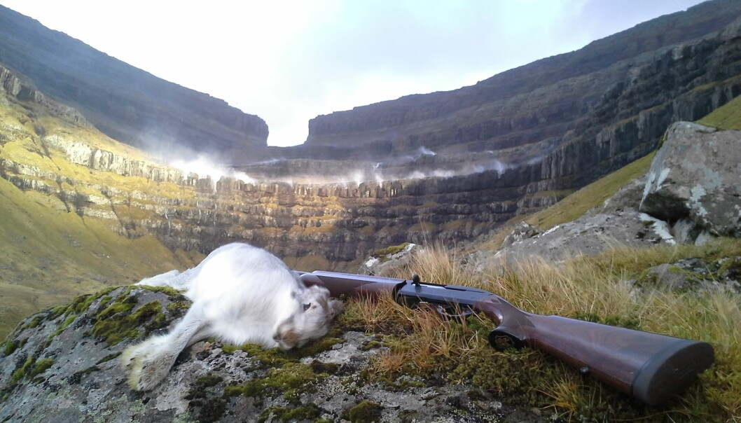 A community of hunters in the Faroe Islands are helping researchers to keep tabs on wild-hare populations, via Facebook. (Photo: David Malik Jørgensen)
