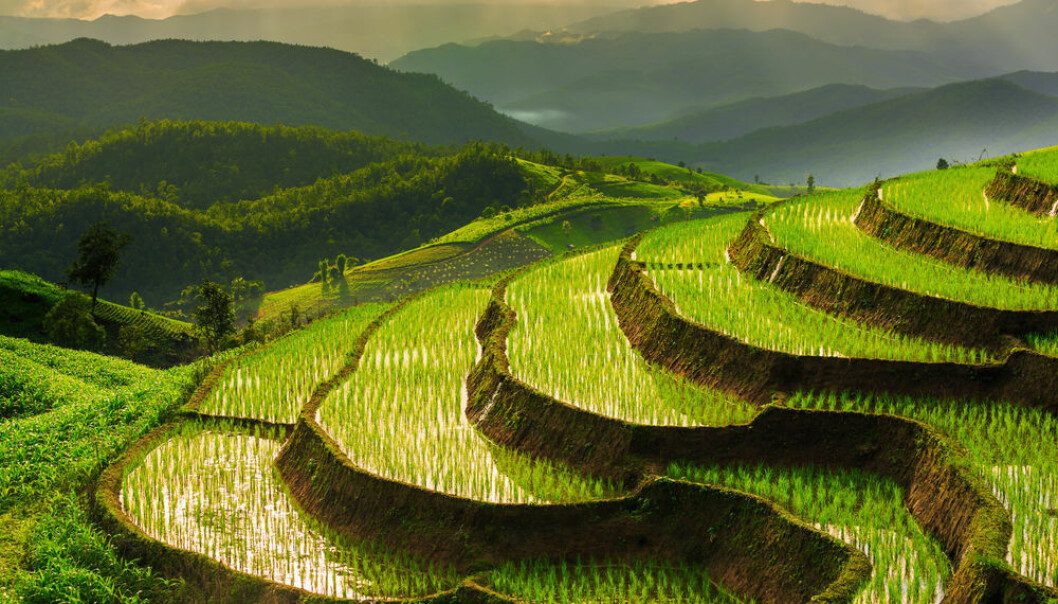 "Rice paddies emit up to 17% of global emissions of the greenhouse gas methane, but new research may have a solution – a new type of rice that can feed more people and cut methane emissions. (Photo: <a href=""http://www.shutterstock.com/da/pic-208366633/stock-photo-terraced-rice-field-in-chiangmai-thailand.html"" target=""_blank"">Shutterstock</a>))"