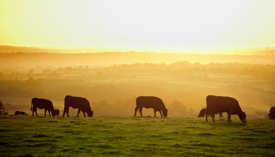 The very first farmers in Denmark and Sweden had good control of their cattle. This meant that they could get them to calve in different seasons so farmers had milk all year round. (Shutterstock)