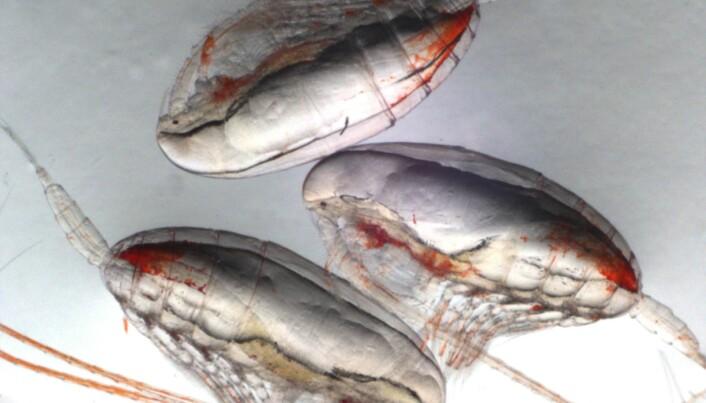 Meet the copepod: the oceans' little carbon sponge