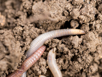 "Most of the world's biodiversity lives underground, says Aimée Classen. (Photo: <a href=""http://www.shutterstock.com/da/pic-185640719/stock-photo-earthworms-on-soil-macro.html"" target=""_blank"">Shutterstock</a>)"