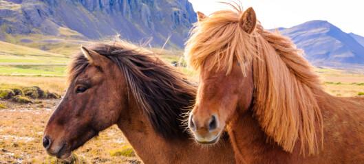 Icelandic horses carry heavy burdens