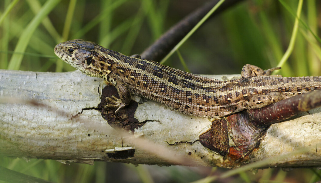 Female Sand Lizards may be able to adapt to--and even benefit--from climate change, suggests new study. (Photo: Wikipedia)