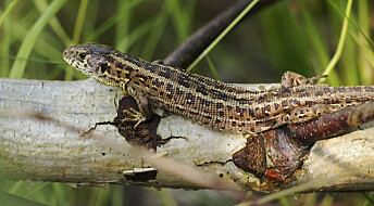 Swedish lizards are thriving under rising temperatures