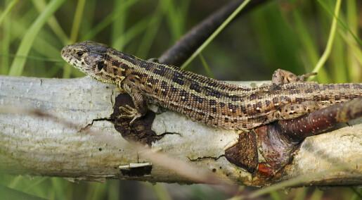 Swedish lizards are thriving under rising temperatures