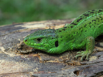 A brightly coloured male Sand Lizard is ready for mating season (Photo: Wikipedia)