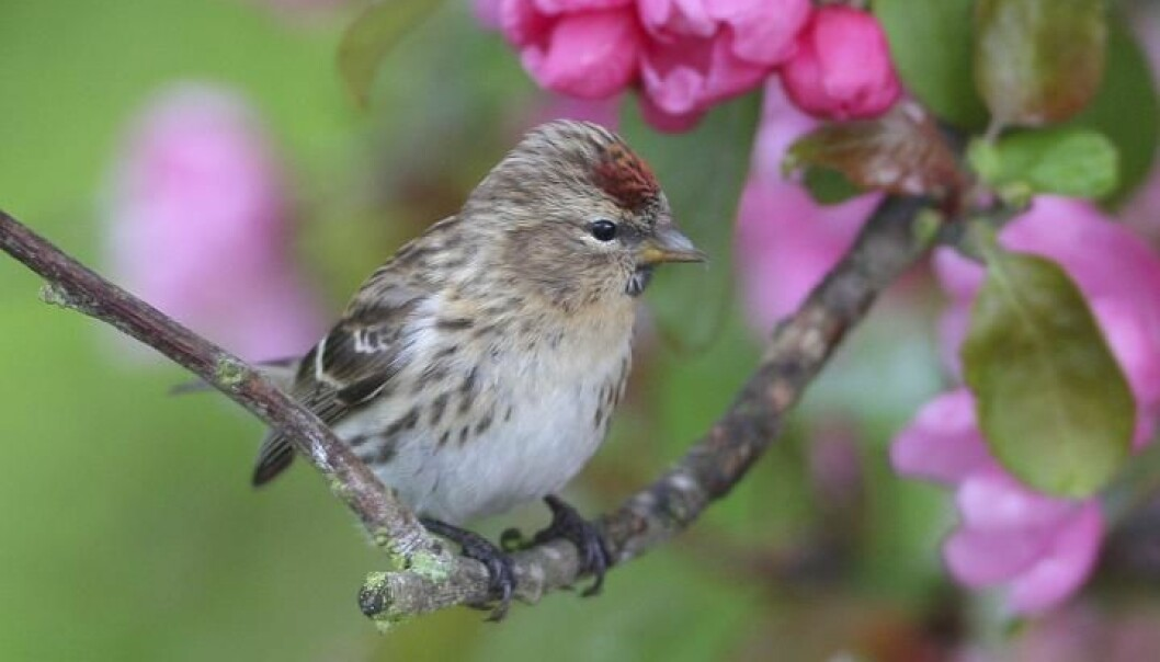 A vast network of avid bird watchers all across Europe have helped scientists piece together how birds are responding to both climate change and intensive agriculture. Unfortunately, this little Redpoll is not responding well to a warmer climate (Photo: David Dillon/BirdLife International)