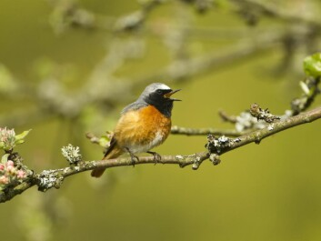 It's not all bad news. Long-distance migrants like this Common Redstart are benefiting from warmer summers in Europe. (Photo: Mark Hamblin (rspb-images.com))