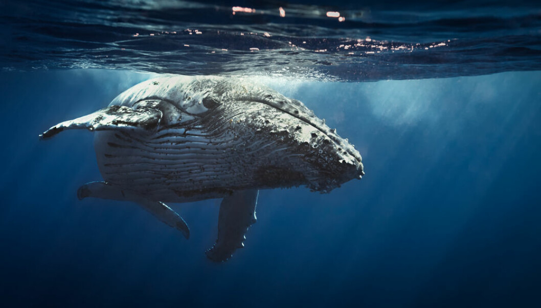 "Whales and other large animals have a previously unknown large impact on the transport of nutrients around the world. (Photo: <a href= http://www.shutterstock.com/da/pic-239709550/stock-photo-queen-whale.html target='blank_"">Shutterstock</a>)"