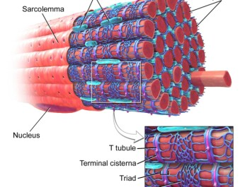 "A muscle fibre with the sarcoplasmic reticulum coloured in blue. The sarcoplasmic reticulum contains calcium. Calcium ions are released through special channels when the muscle is stimulated by nerve signals. This free calcium causes the muscle cell to contract. When the muscle relaxes again, the calcium gets sent back into the sarcoplasmic reticulum. (Figure: Blausen.com staff. ""Blausen gallery 2014"". Wikiversity Journal of Medicine. DOI:10.15347/wjm/2014.010, Creative Commons)"
