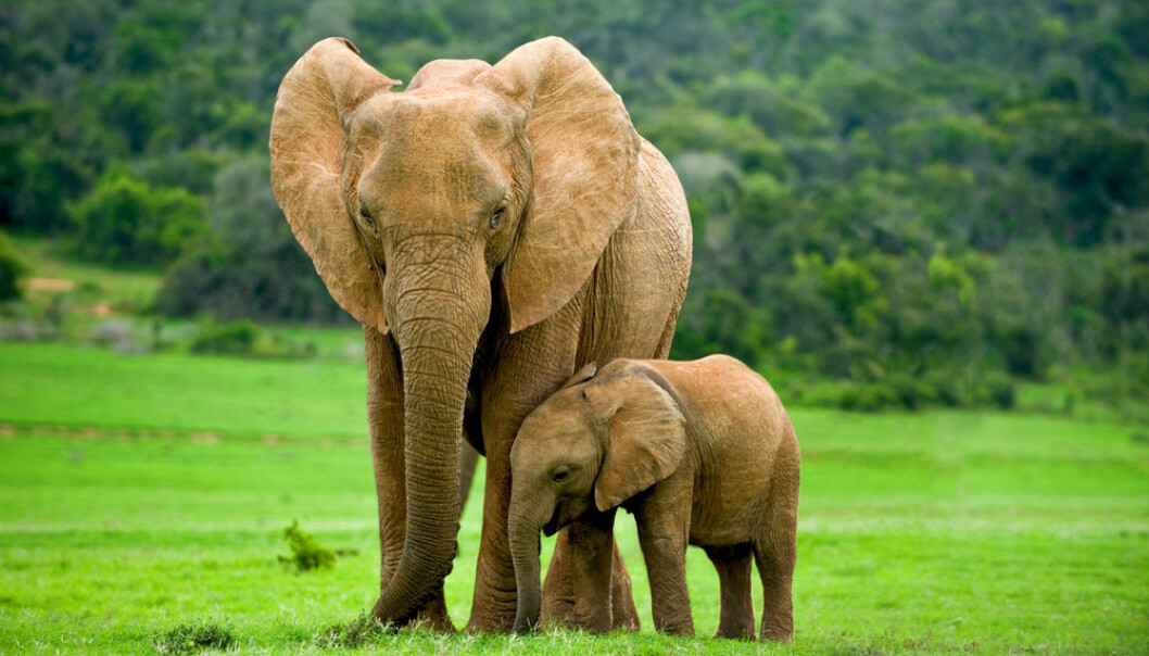 "Elephants have a huge impact on how the landscape looks and are important for the survival of other species in their vicinity. (Photo: <a href=http://www.shutterstock.com/da/pic-176556266/stock-photo-a-young-elephant-right-next-to-an-adult-one.html target=""blank_"">Shutterstock</a>)"