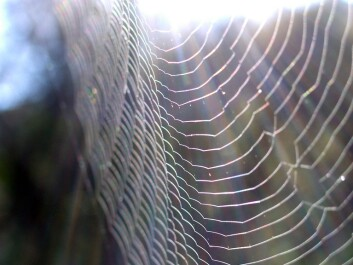 In relation to their filament diameter, the strands of a spider's web are enormously strong and elastic. Researchers believe this material could be the key to inventing a product that can compete with Kevlar and carbon fibre. (Photo: Colourbox)