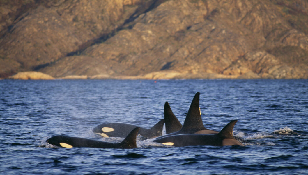 "The levels of the toxic PCBs are so high in many European killer whales and some dolphins that scientists fear they might go extinct. (Photo: <a href=http://www.shutterstock.com/da/pic-111398987/stock-photo-group-of-killer-whales-norway.html   target=""blank_"">Shutterstock</a>)"