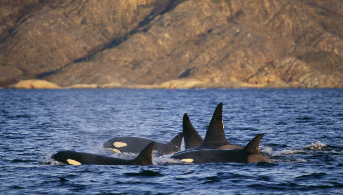 Why are banned chemicals still killing killer whales?