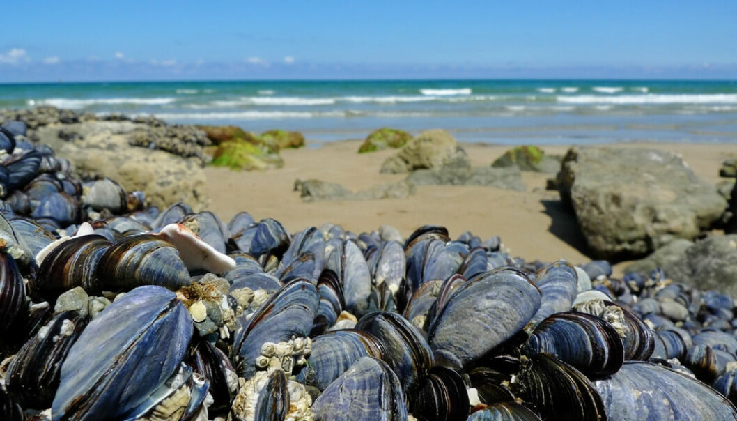 New study questions whether the IPCC report has overestimated the effects of ocean acidification on calcified marine animals like mussels, snails, corals, or sea urchins. (Photo: Shutterstock).