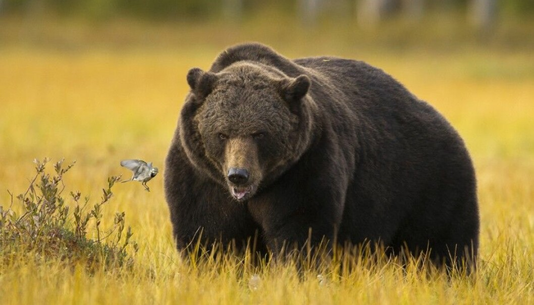 How can bears gain so much girth without incurring health problems? (Photo: Arnfinn Johansen / NTB scanpix)
