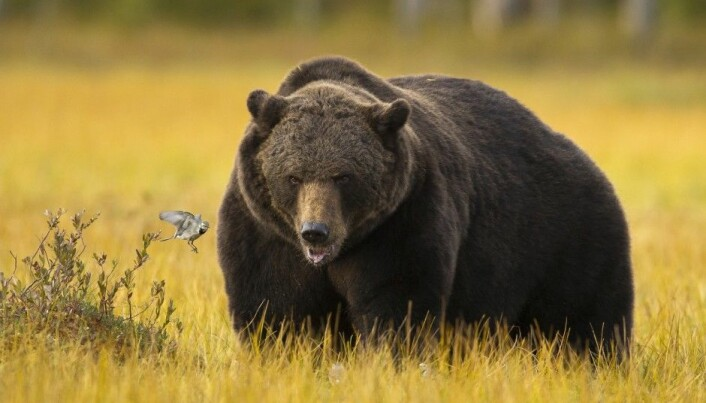 Why bears can be obese and healthy