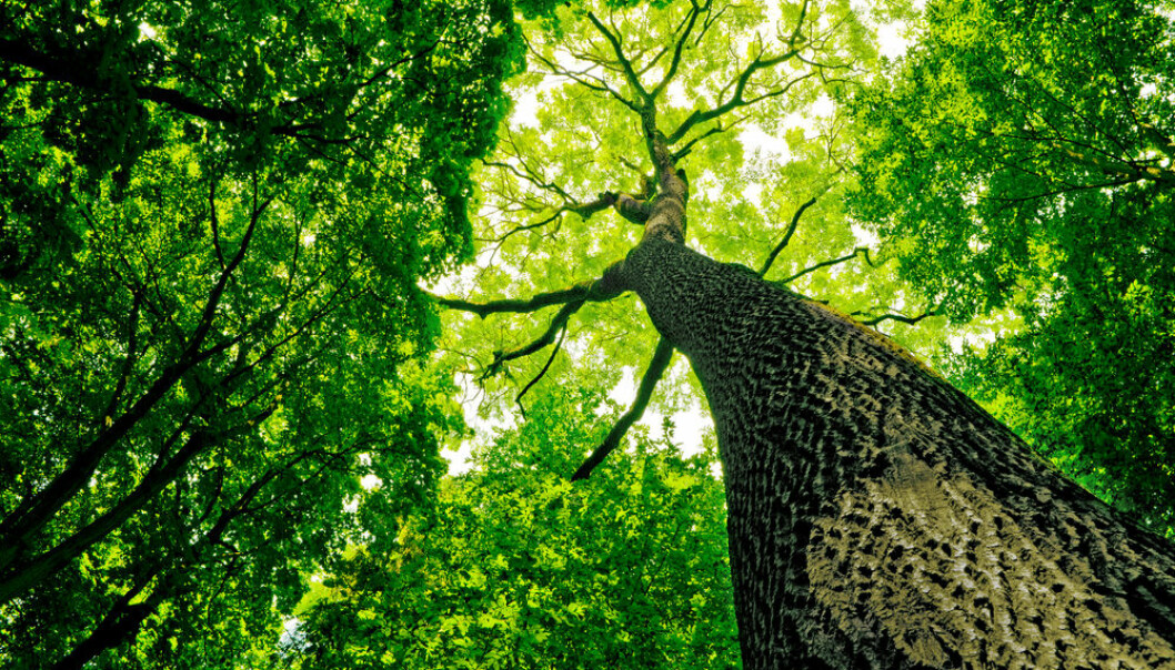 "Trees are made up of lignin and cellulose, which are subsequently broken down by fungi. (Photo: <a href=http://www.shutterstock.com/da/pic-95030080/stock-photo-forest-trees-nature-green-wood-sunlight-backgrounds.html  target=""blank"">Shutterstock</a>)"
