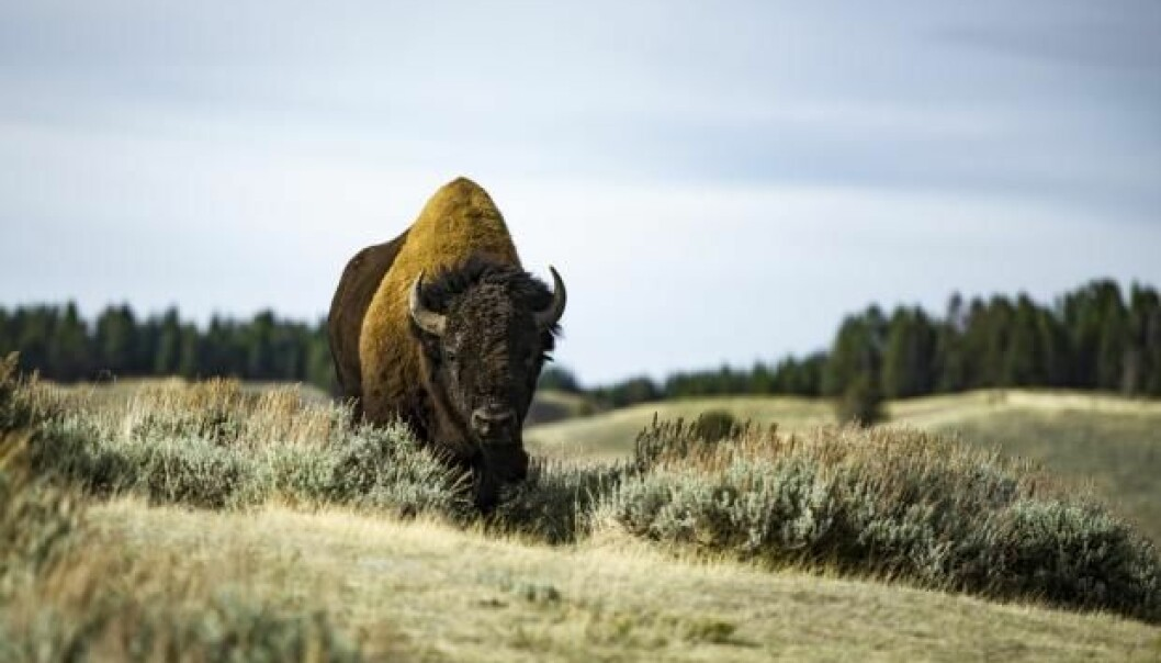 "Bison were reintroduced on the island of Bornholm in 2012 in an attempt to promote species diversity. But some scientists are critical of such projects, and warn of the unforeseen risks of disease and parasites associated with relocating animals to new places. (Photo: <a href=http://www.shutterstock.com/da/pic-372087670 target=""blank_"">Shutterstock</a>)"