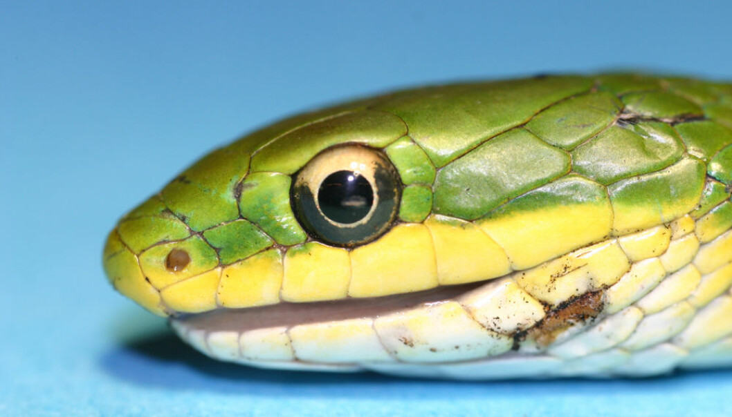 Snakes have no eyelids. Instead, their eye has a protective membrane, which is renewed when they shed their skin. The membrane functions just like a contact lens, helping to amass light and form an image. (Photo: Mads F. Bertelsen)