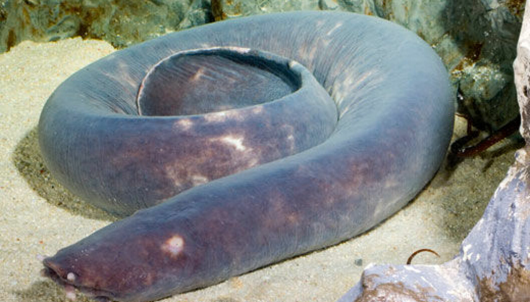 When the hagfish is about to eat, it ties itself in a knot that it pushes towards its jawless mouth. This enables it to take a large bite of the carcass it wants to eat.