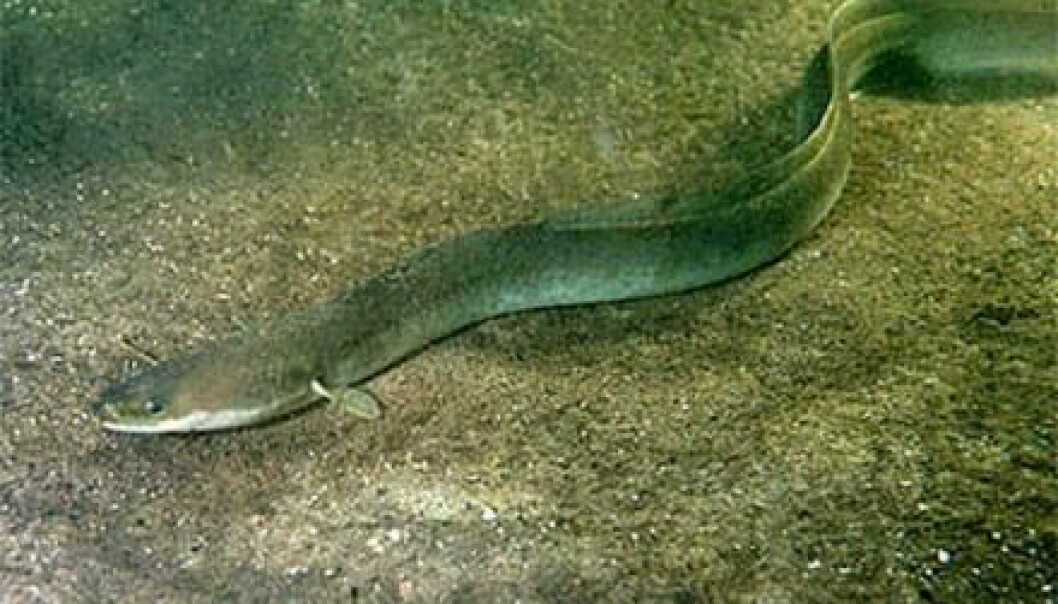 "Every year, European eel migrates to the Sargasso Sea in the Atlantic Ocean to breed. But scientists did not know whether Mediterranean eels took part in this epic journey. New research shows that they do. (Photo: <a href=http://static.digischool.nl/bi/onderwaterbiologie/ target=""_blank"">Ron Offermans</a>)"