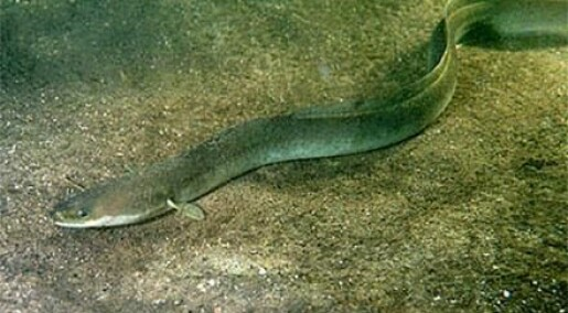 Eels can escape the Mediterranean Sea