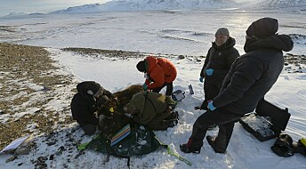 Buttock hair used to monitor Arctic musk ox