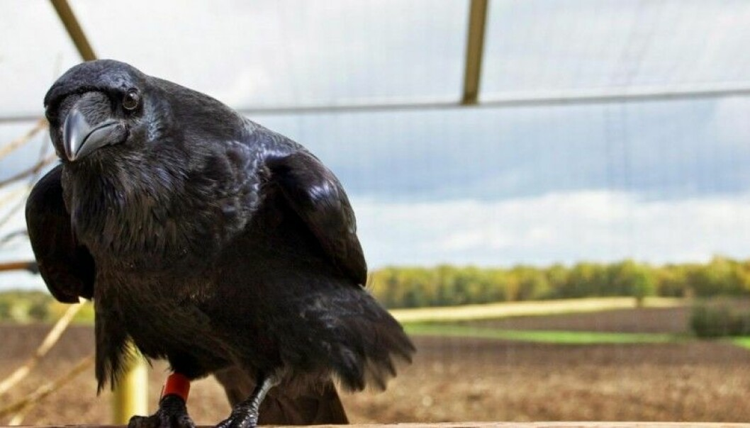 Ravens waste no time pecking pointlessly at the surface of a transparent cylinder to grab a bite of food. They go right for the opening at the end. They scored as high as chimpanzees in this test.  (Photo: Helena Osvath/Lund University)