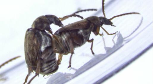 Gay beetles get fertile sisters