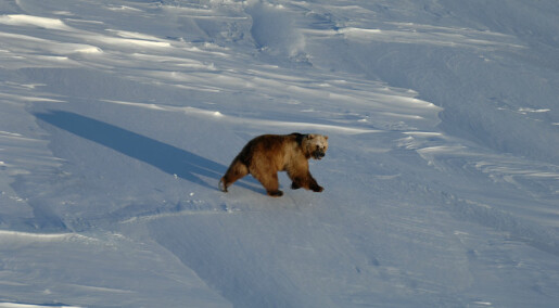 Grizzly-polar bear hybrids spotted in Canadian Arctic