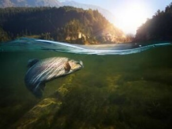 Wild salmon contains up to ten times as much vitamin D as farmed salmon. (Photo: Shutterstock)