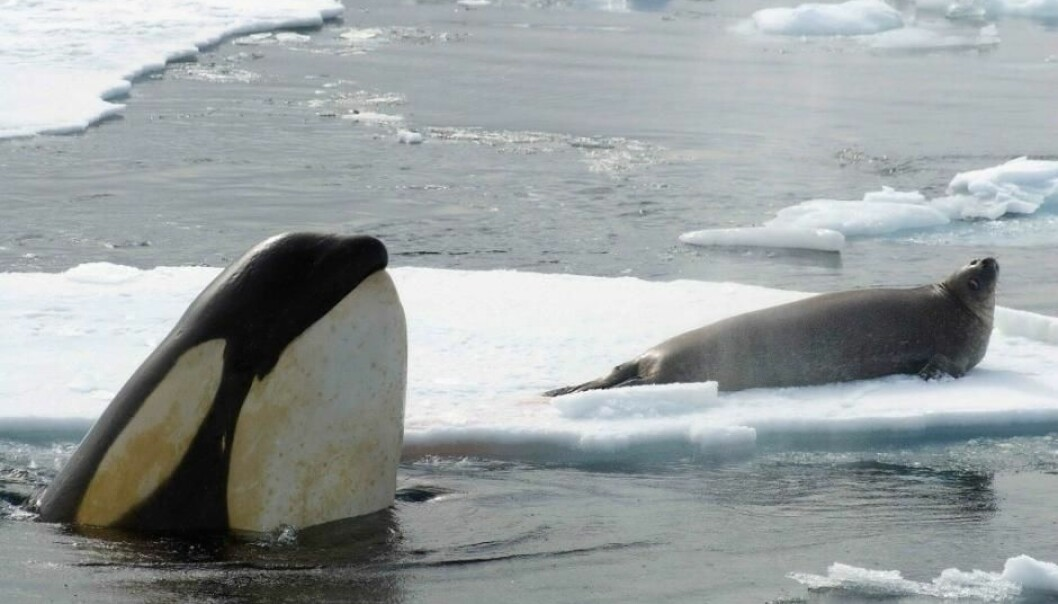 Killer whales spot a seal on the sea ice near Antarctica (Photo: John Durban, NOAA Southwest Fisheries Science Center)