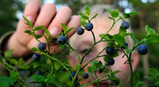 A great year for blueberries