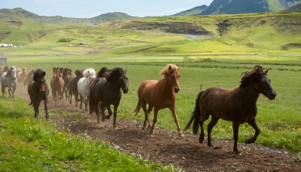 The Vikings played a big role in breeding horses to move with an 'ambling gait', a trait that continues to this day. (Photo: Shutterstock)
