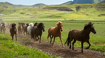Viking horse breeders developed the 'ambling gait'