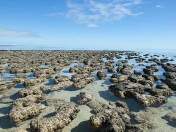 How the Greenland stromatolites may have once looked, in a shallow marine coastal environment. These examples are from the west coast of Australia in the World Heritage Area of Shark Bay (Photo: Shutterstock)
