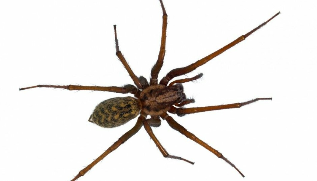 An ordinary and harmless spider can give many people the creeps. (Photo: Shutterstock/NTB scanpix)