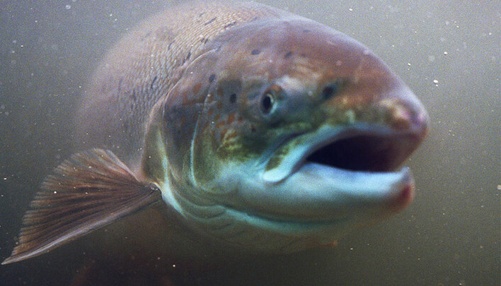 Acid salts and heat give better fish feed