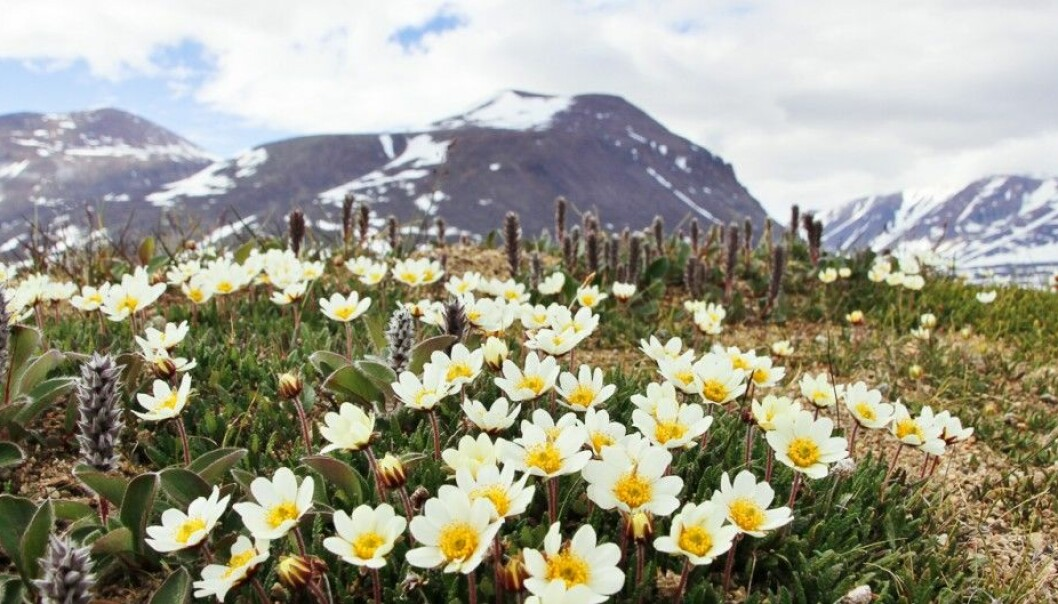 Carpets of mountain avens (Dryas octopetala) in full bloom near the research station at Zackenberg in northeast Greenland. (Photo: Mikko Tiusanen)