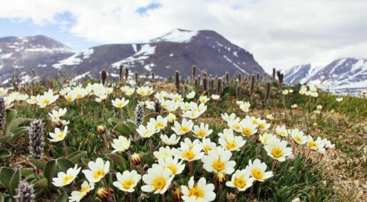 A small fly is a super pollinator in the Arctic