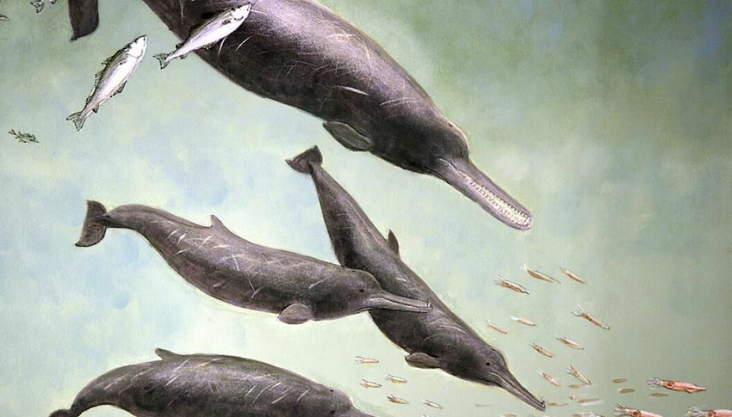The ten-million-year-old beaked whale has been given the name 'Mjon' (Photo: Museum Sønderjylland)